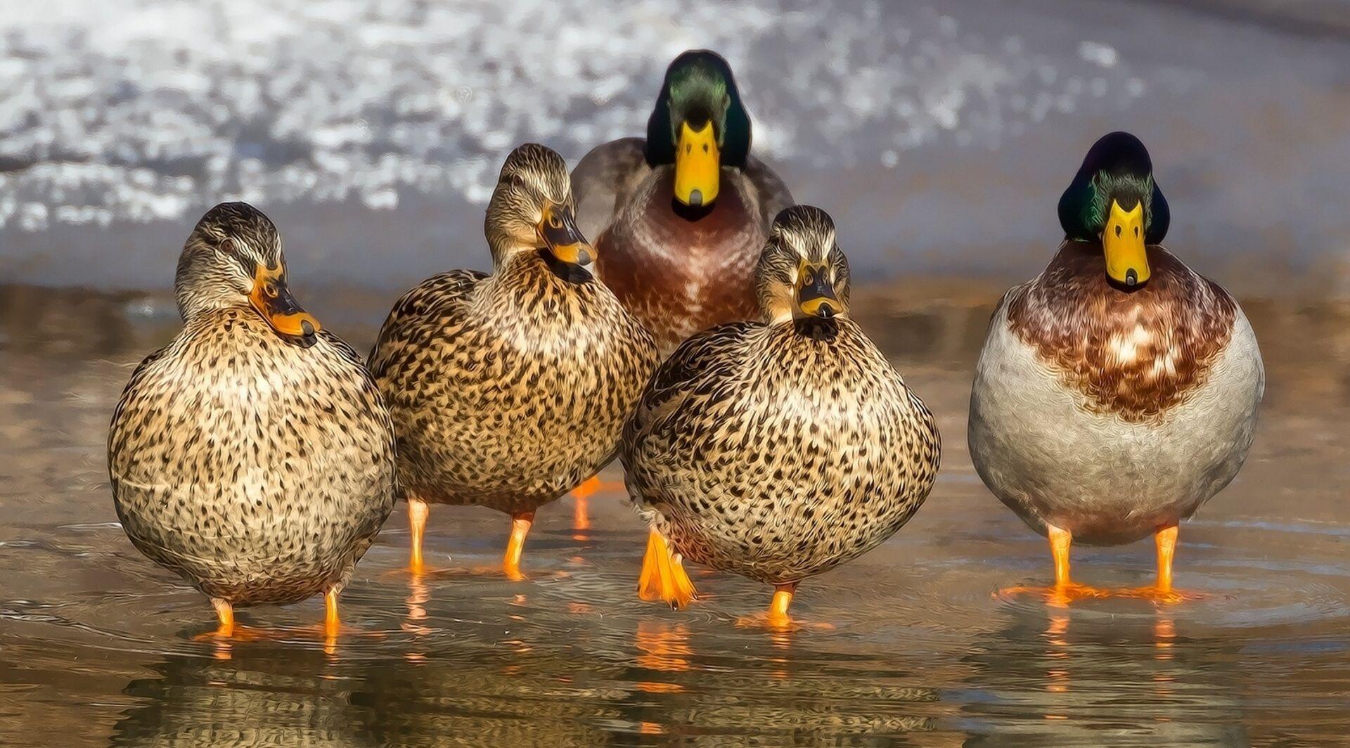 Zbog ptičje gripe u Francuskoj usmrćivanje pataka u tri najpogođenije pokrajine