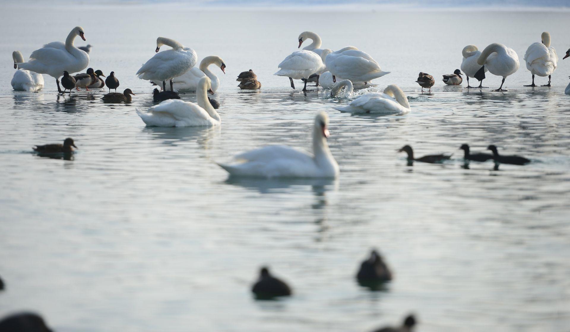 JARUN I BUNDEK: Na uginulim labudovima utvrđena ptičja gripa