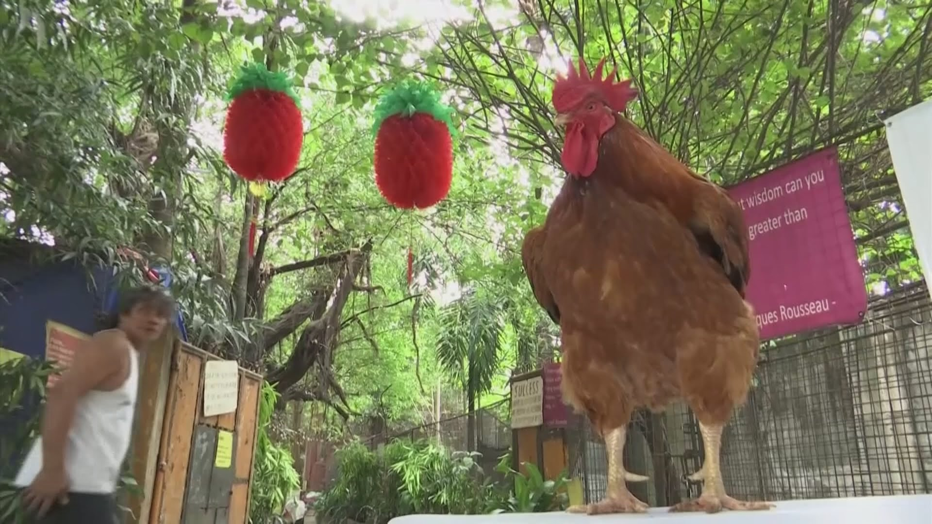 VIDEO: Otvorena izložba 'Roosters of the World'