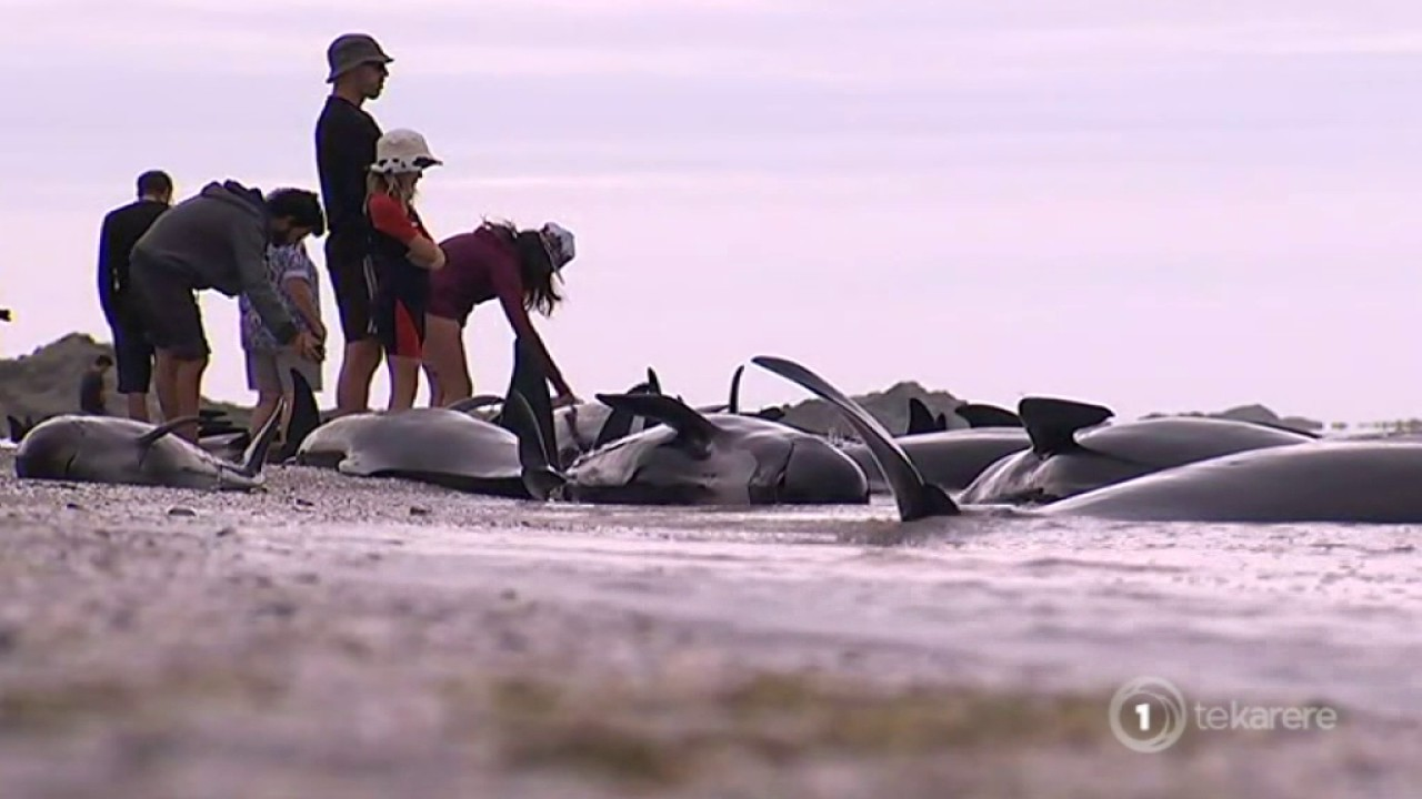 VIDEO: Nasukalo se više od 400 kitova, volonteri spašavaju preživjele