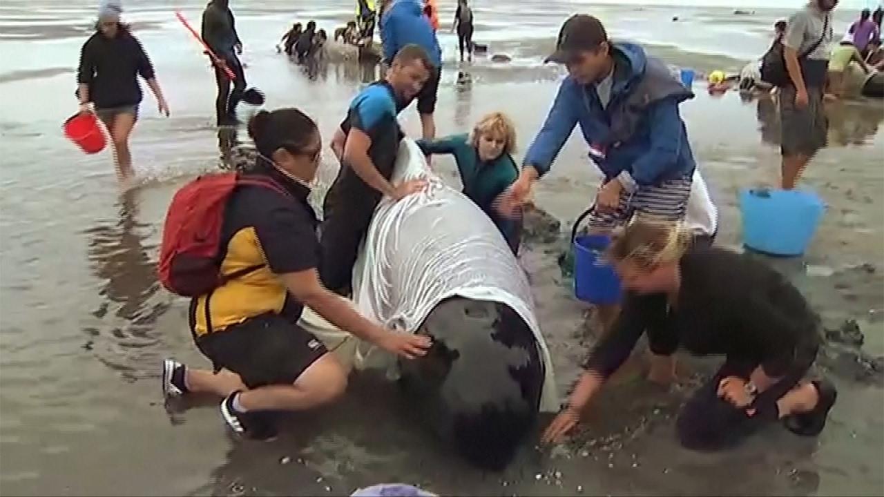 VIDEO: Spašavanje nasukanih kitova na Novom Zelandu, stiglo još 240 kitova