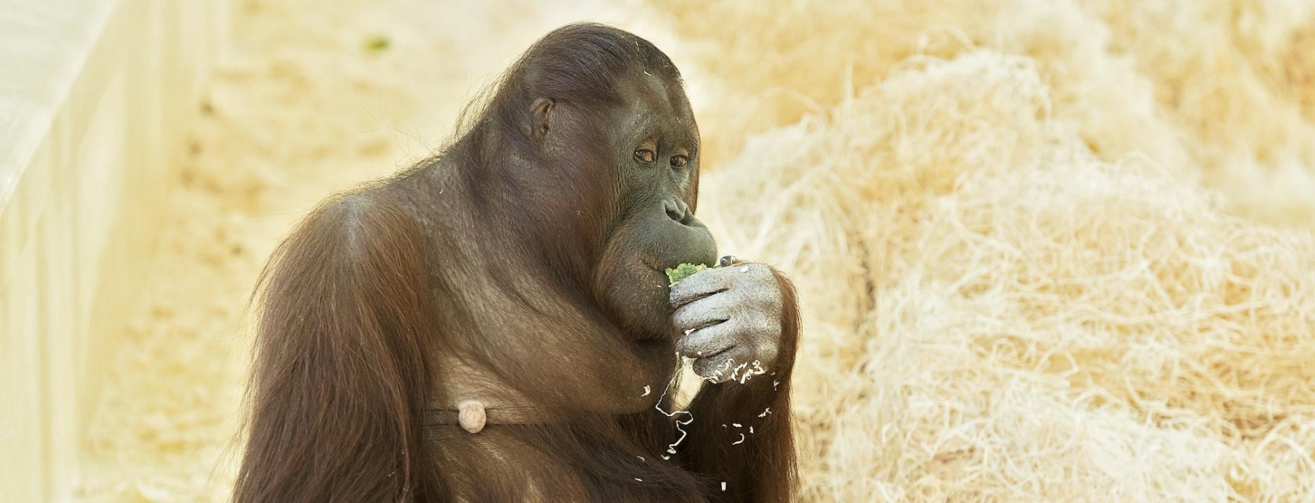 Bečki zoološki vrt očekuje mladunče orangutana
