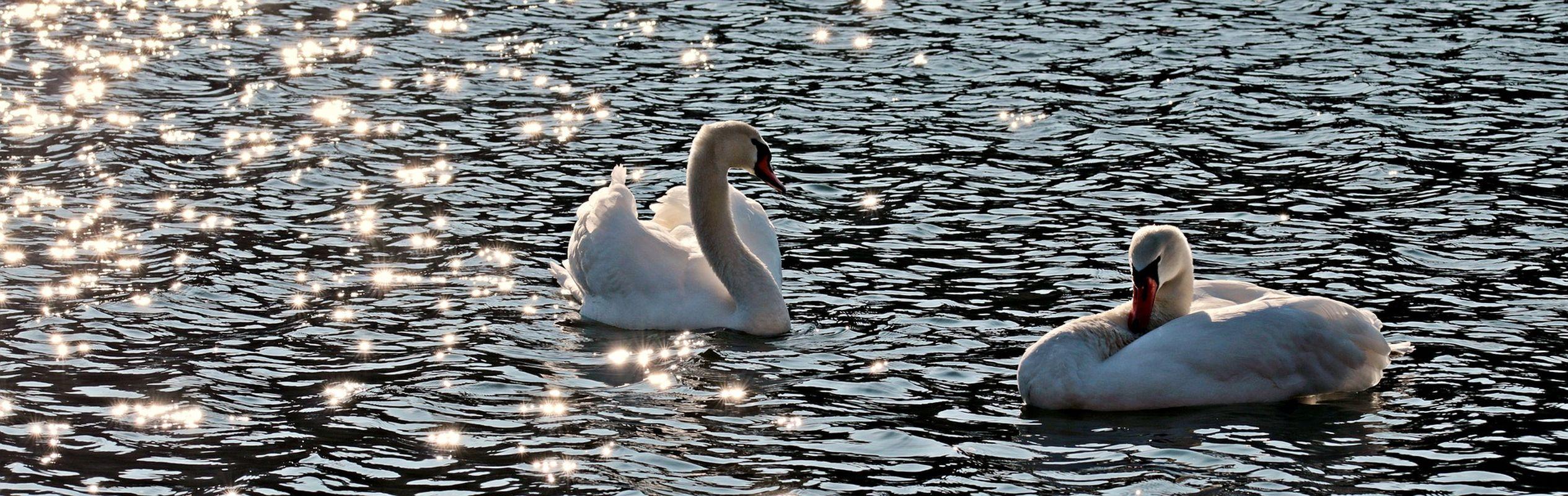 SARAJEVO Virus ptičje gripe otkriven kod labudova u parku Pionirska dolina