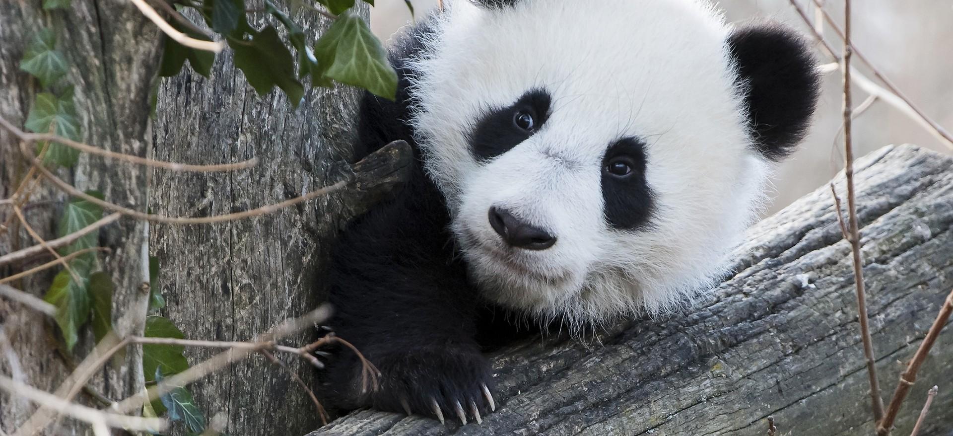 VIDEO: GRAD BEČ Blizanci pande iz zoološkog vrta prvi put na otvorenom