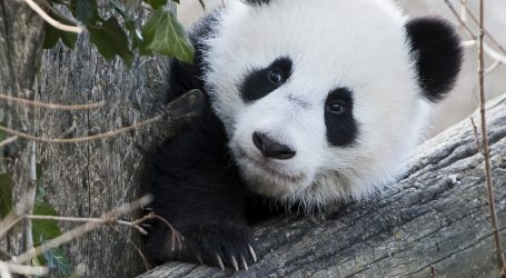 Trojke velike pande zabavile posjetitelje