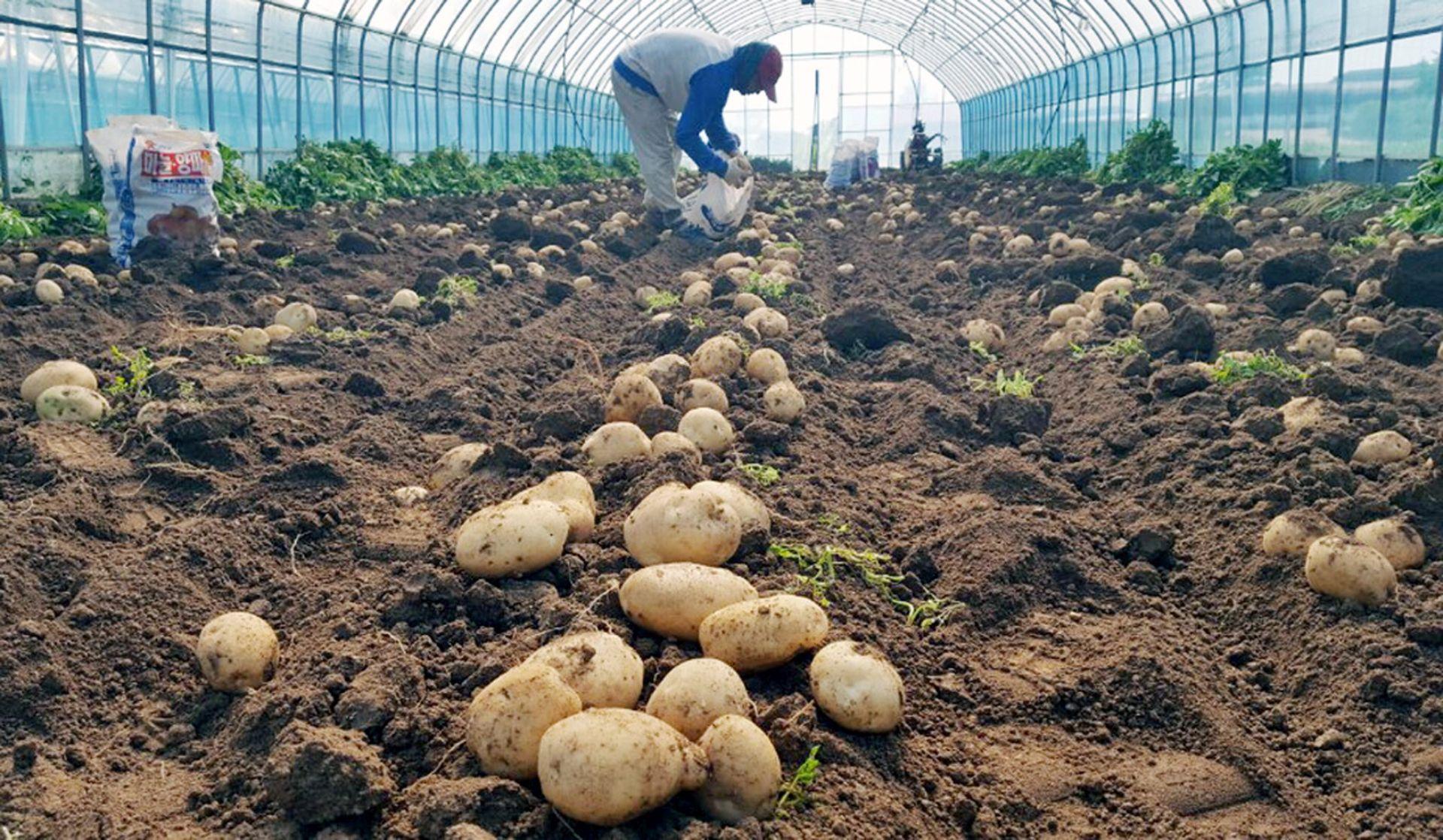 NEISPRAVNA POŠILJKA: Inspekcija vratila u Egipat gotovo 25 tona krumpira