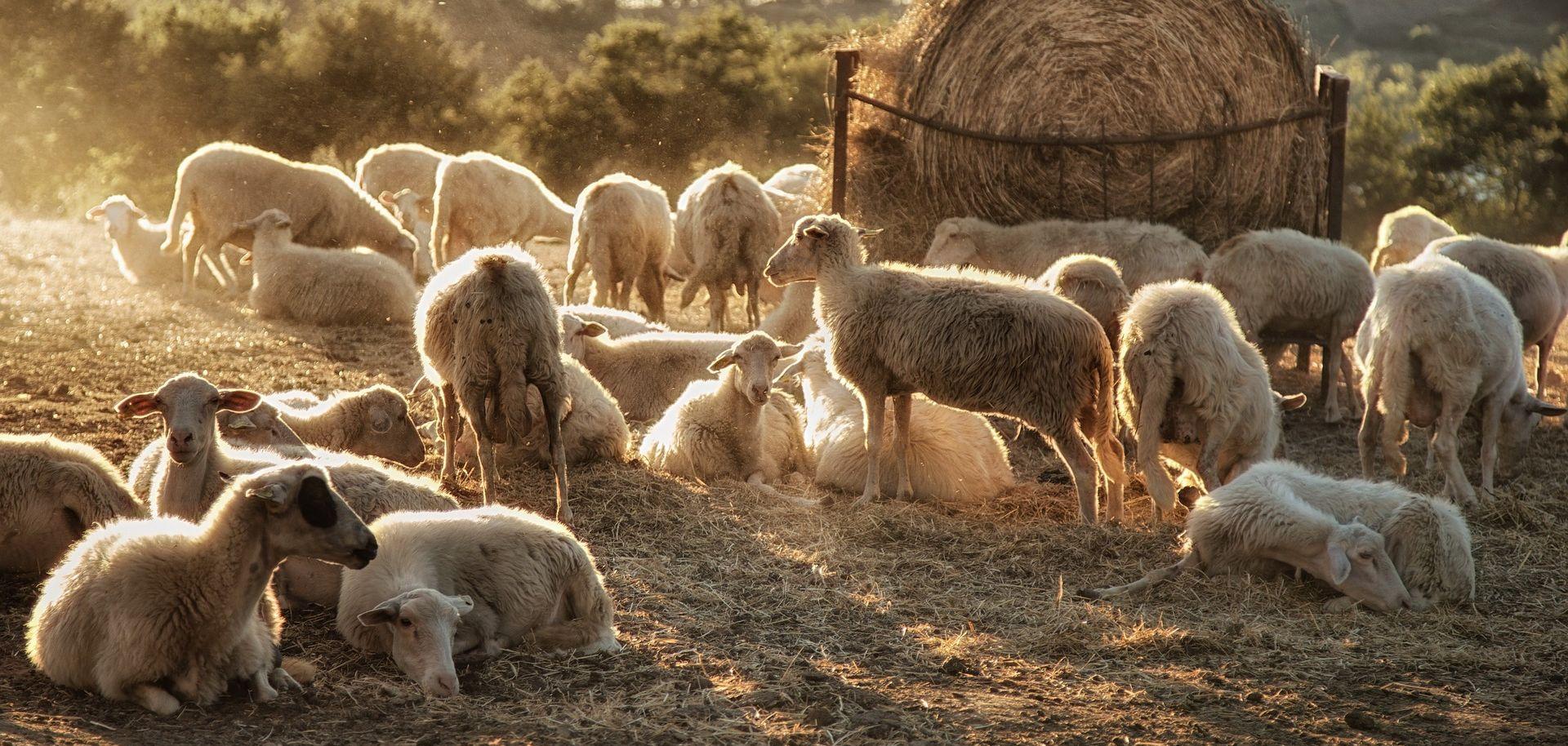 SUBOTICA Pretukli pa vezali pastira i ukrali deset ovaca