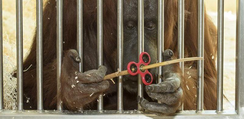 VIDEO: I orangutanica Nonja iz bečkog zoološkog vrta otkrila spinner