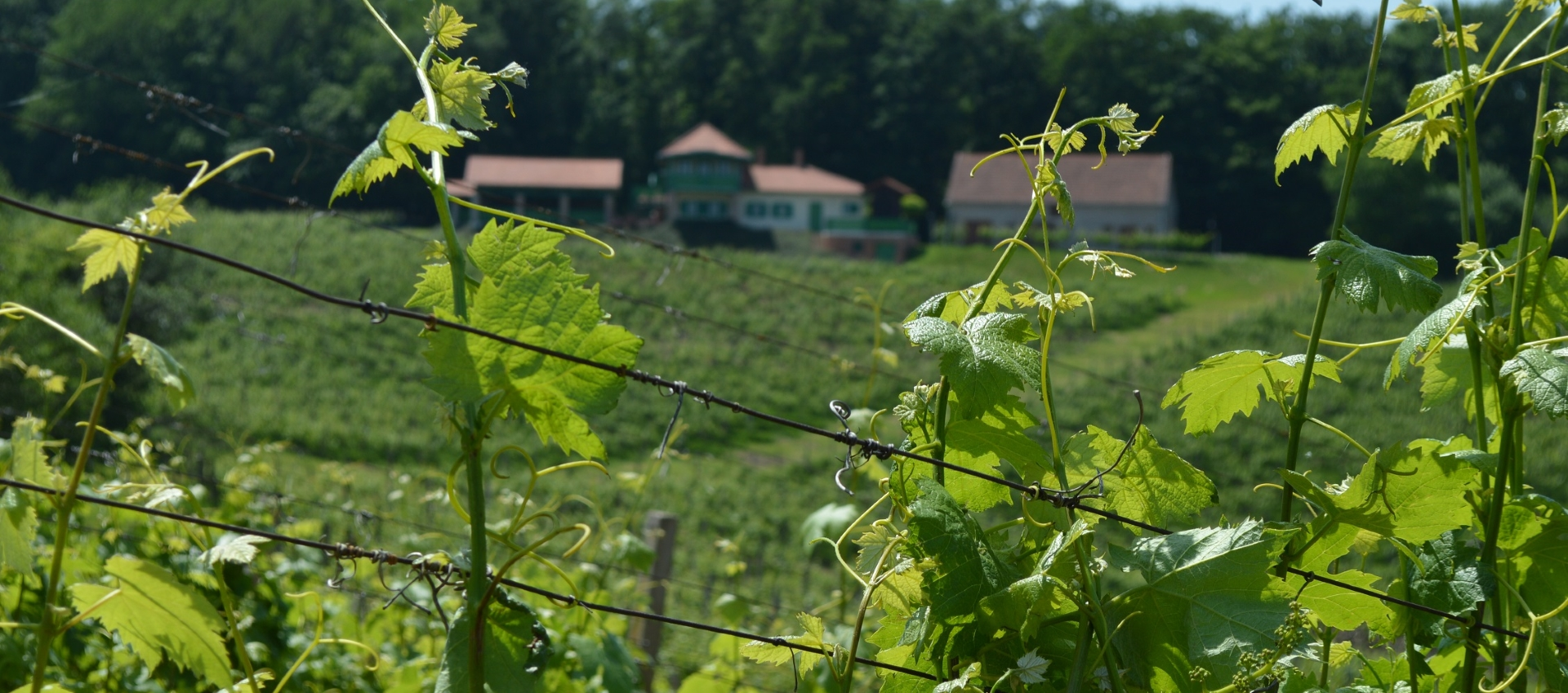 Odmor i zabava na 'Feričanačkoj berbi grožđa'