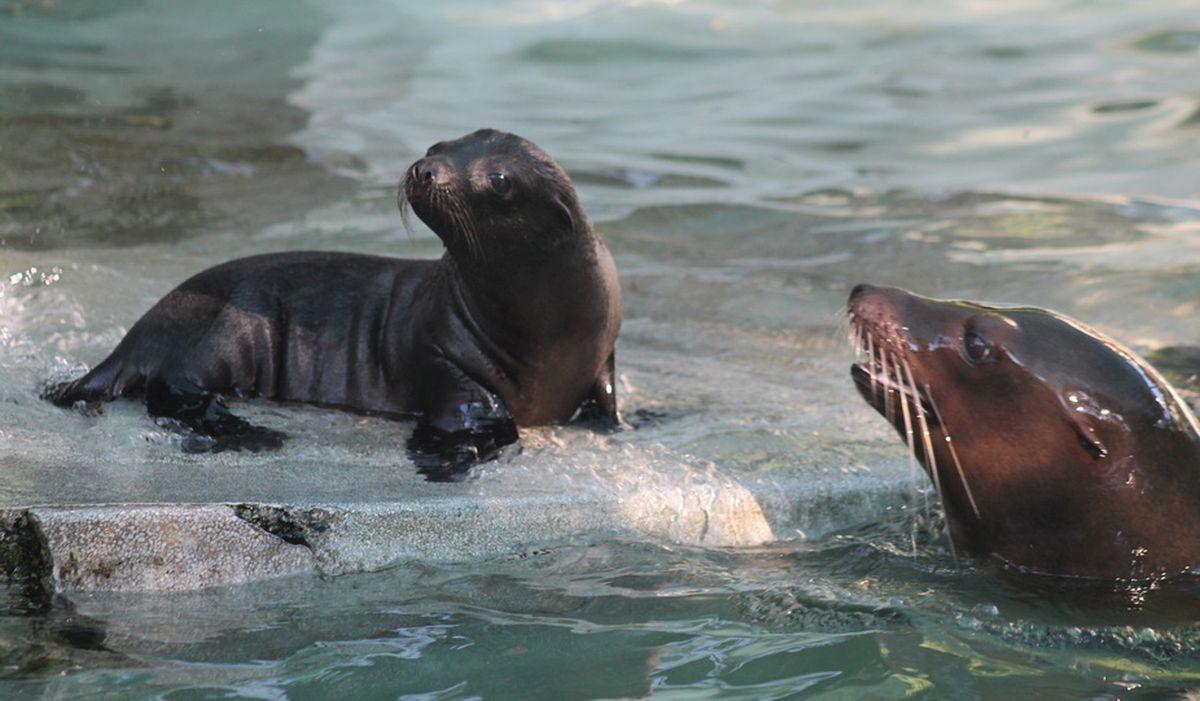 Morski lavić – najnovije mladunče u zagrebačkom Zoološkom vrtu
