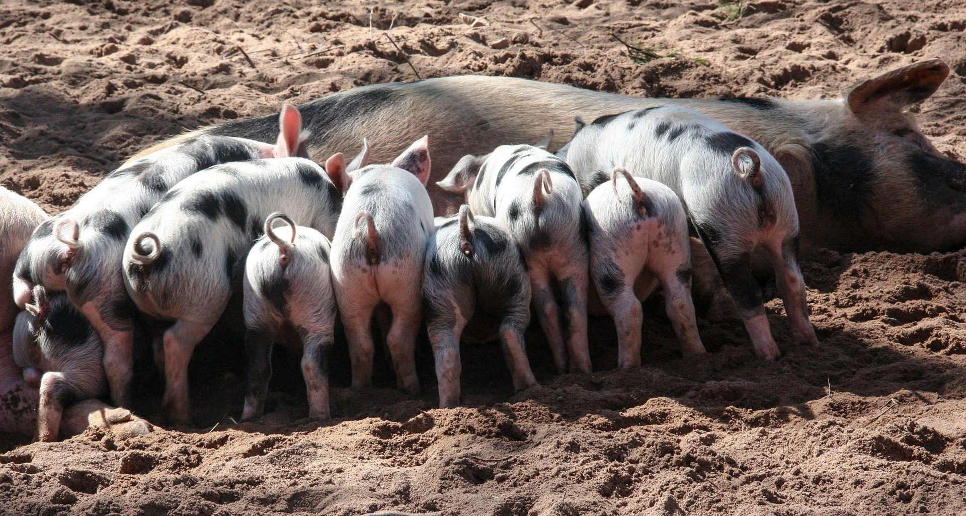 Znanstvenici korak bliže presađivanju svinjskih organa ljudima