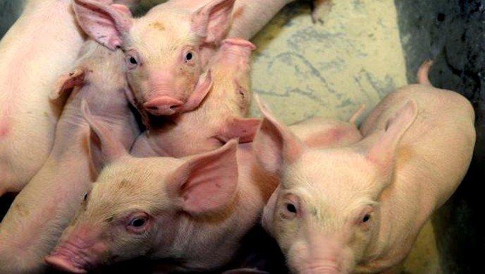 Srbija zbog afričke kuge zabranila uvoz svinja iz Mađarske