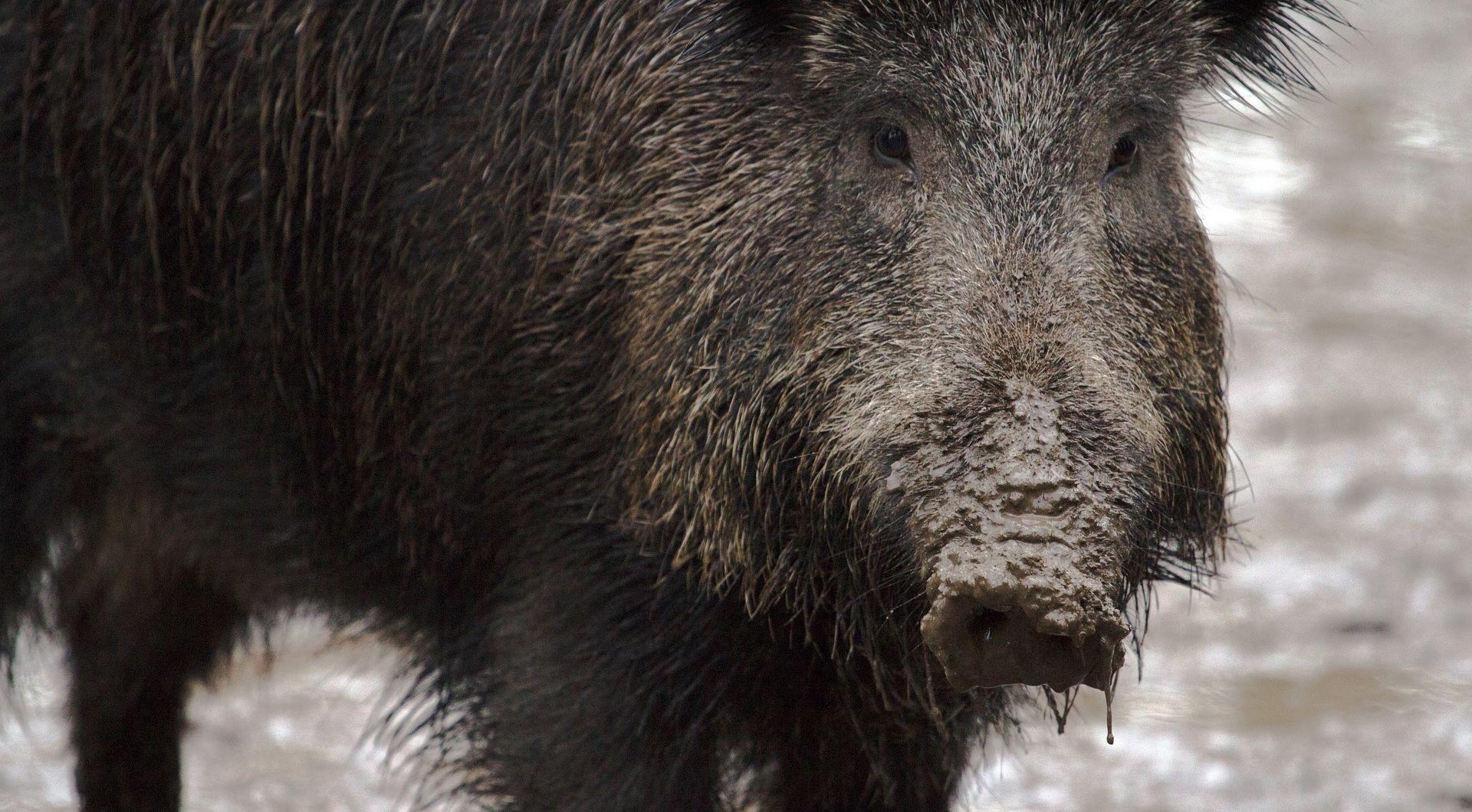 NEVJEROJATAN PRIZOR U CRIKVENICI Divlja svinja ušetala u dvorište dječjeg vrtića