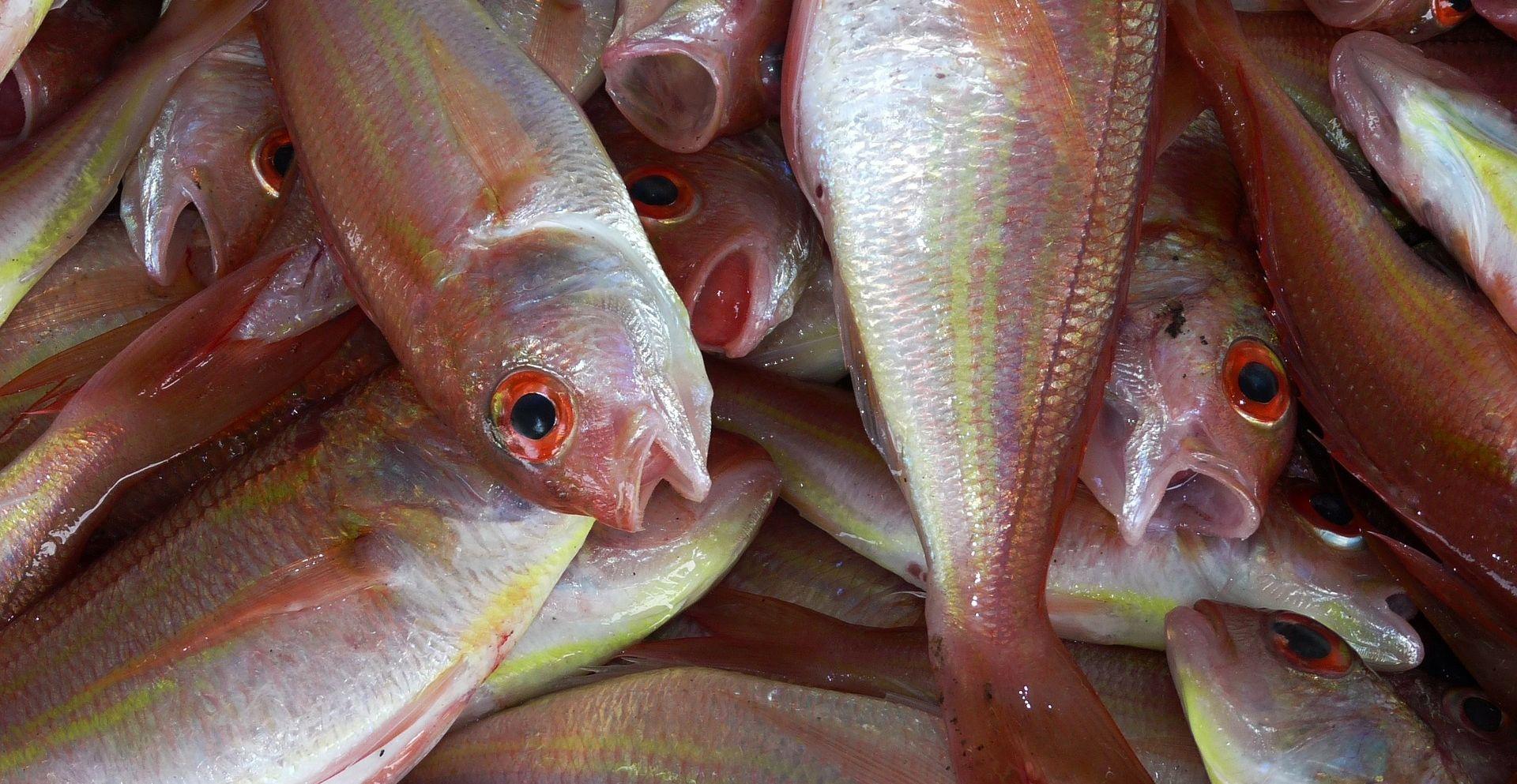 SITUACIJA SVE TEŽA 'Na nekim dijelovima Jadrana više uopće nema ribe'