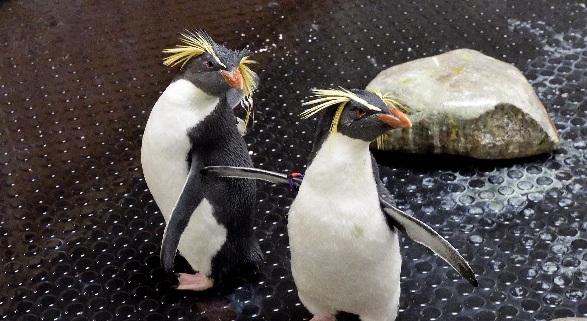 VIDEO: Žutouhi pingvini našli dom u bečkom zoološkom vrtu