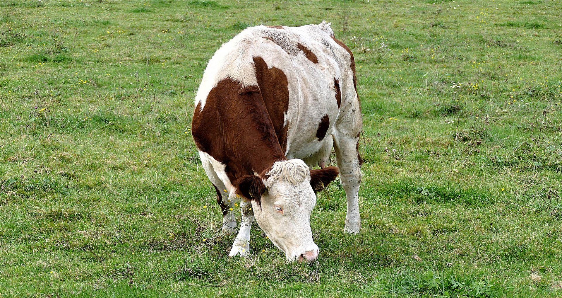 Seljani ubili Indijca jer je zaklao kravu
