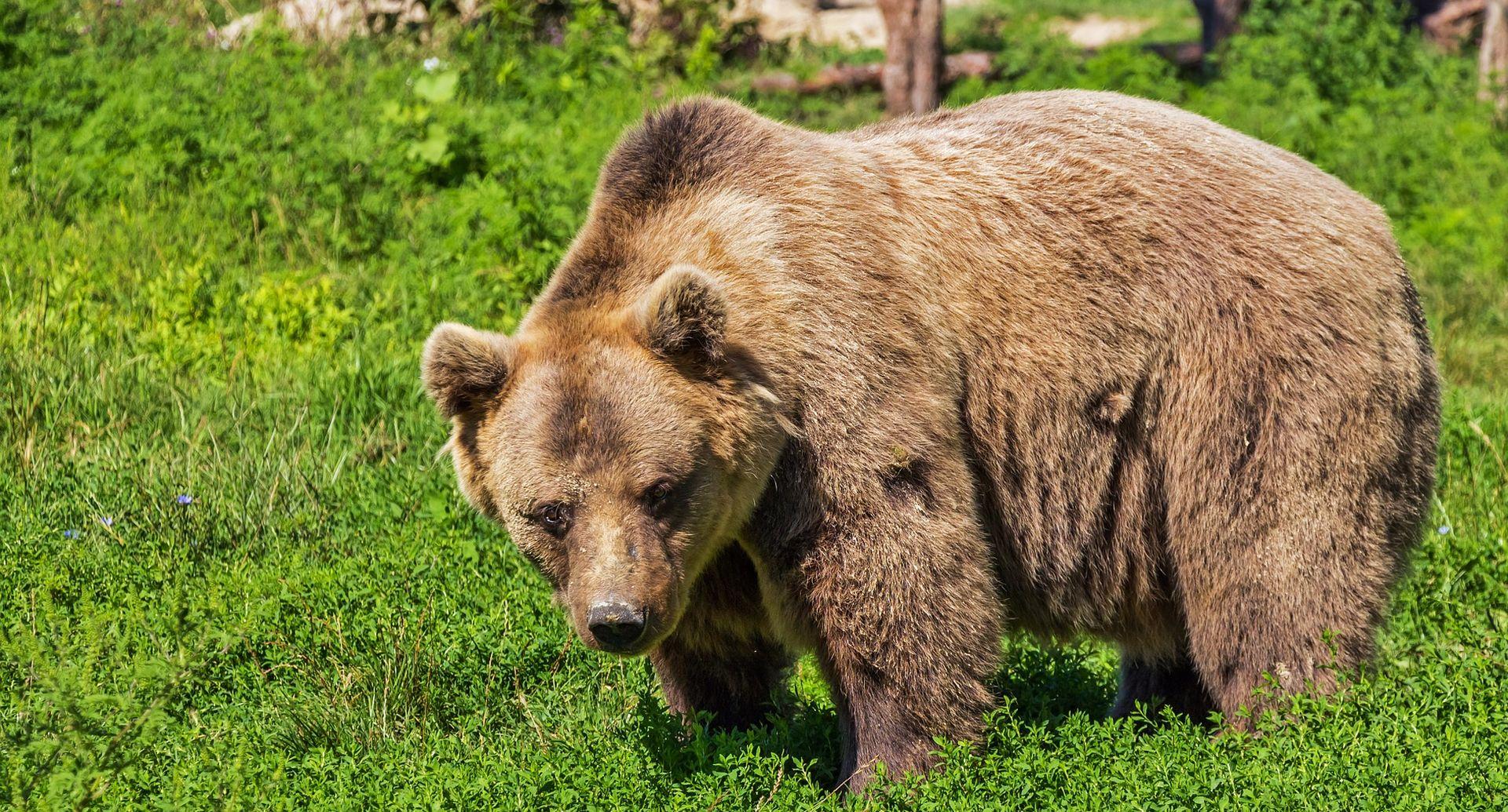 SELJAČKA BUNA Zajec brani medvjede i vukove