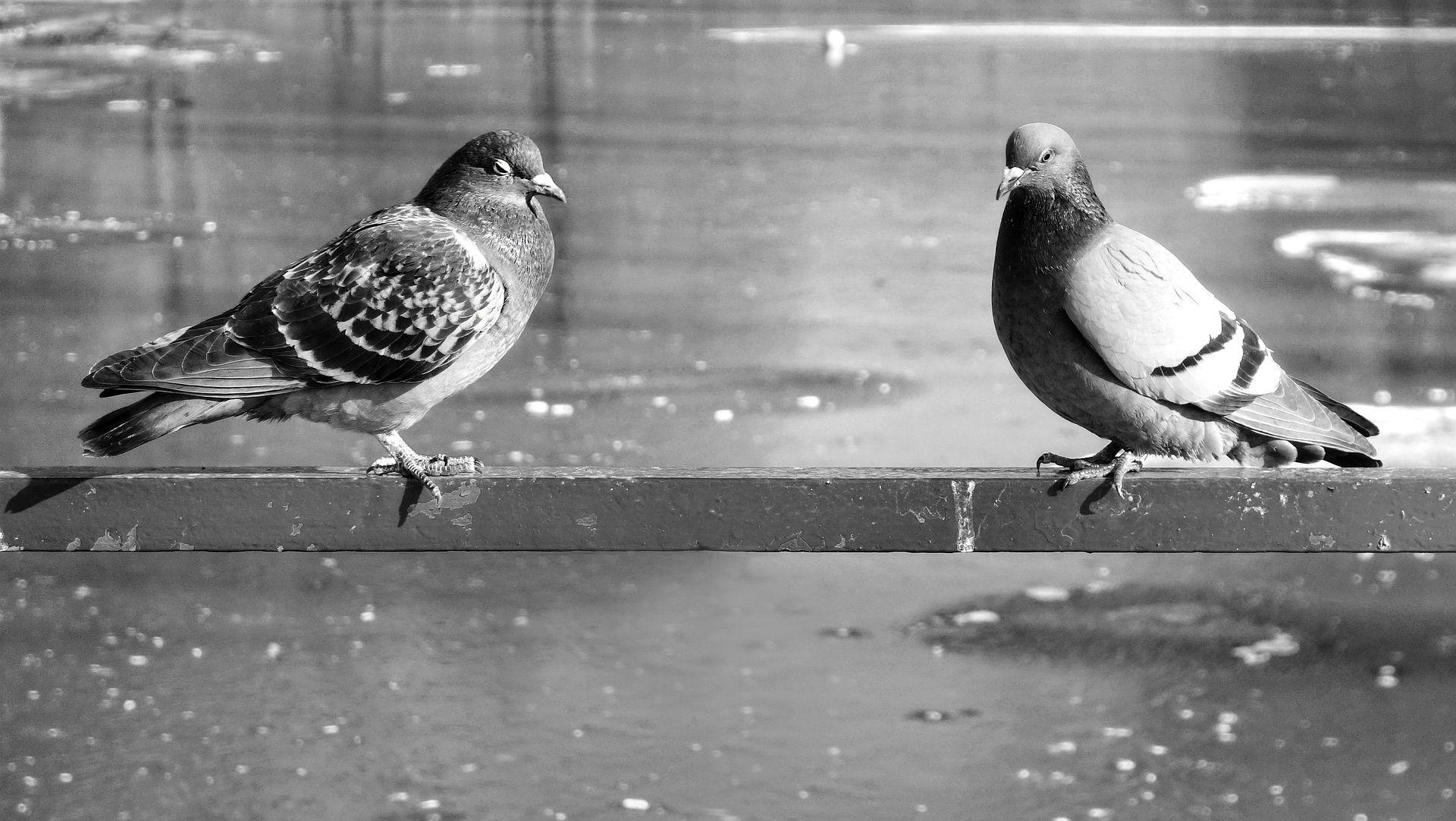 Do kraja tjedna bit će poznato od čega su uginuli osječki golubovi