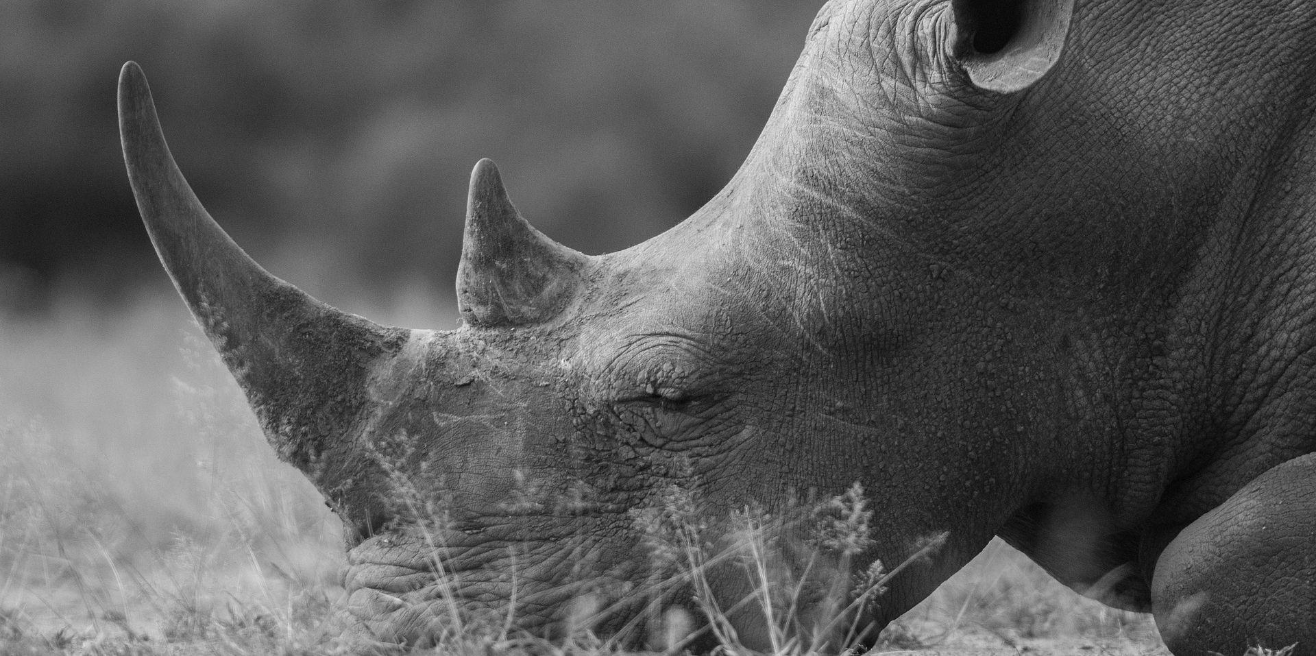 Uginuo posljednji mužjak sjevernog bijelog nosoroga