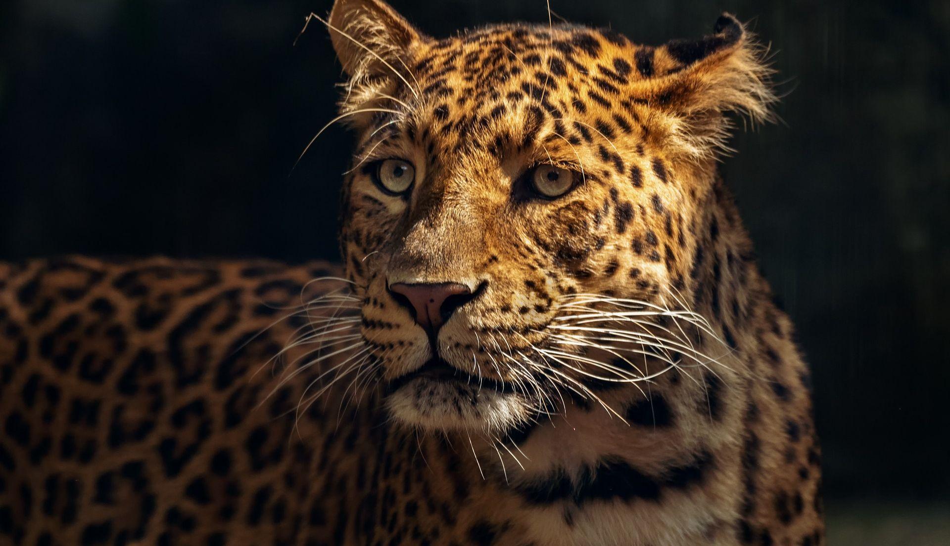 U Meksiku raste populacija jaguara