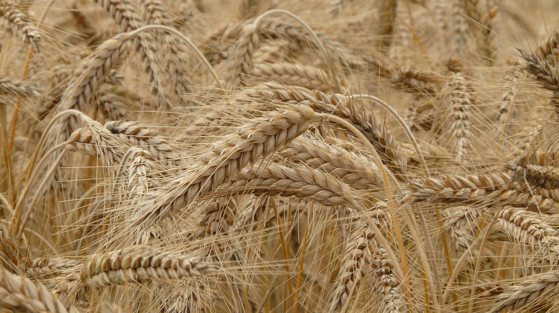 AZTN pokrenuo postupke protiv otkupljivača žita