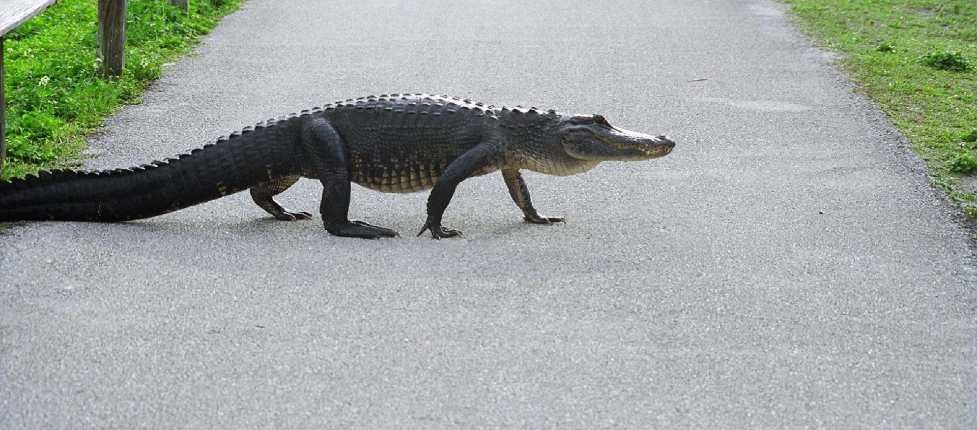 Aligator usmrtio ženu dok je šetala psa