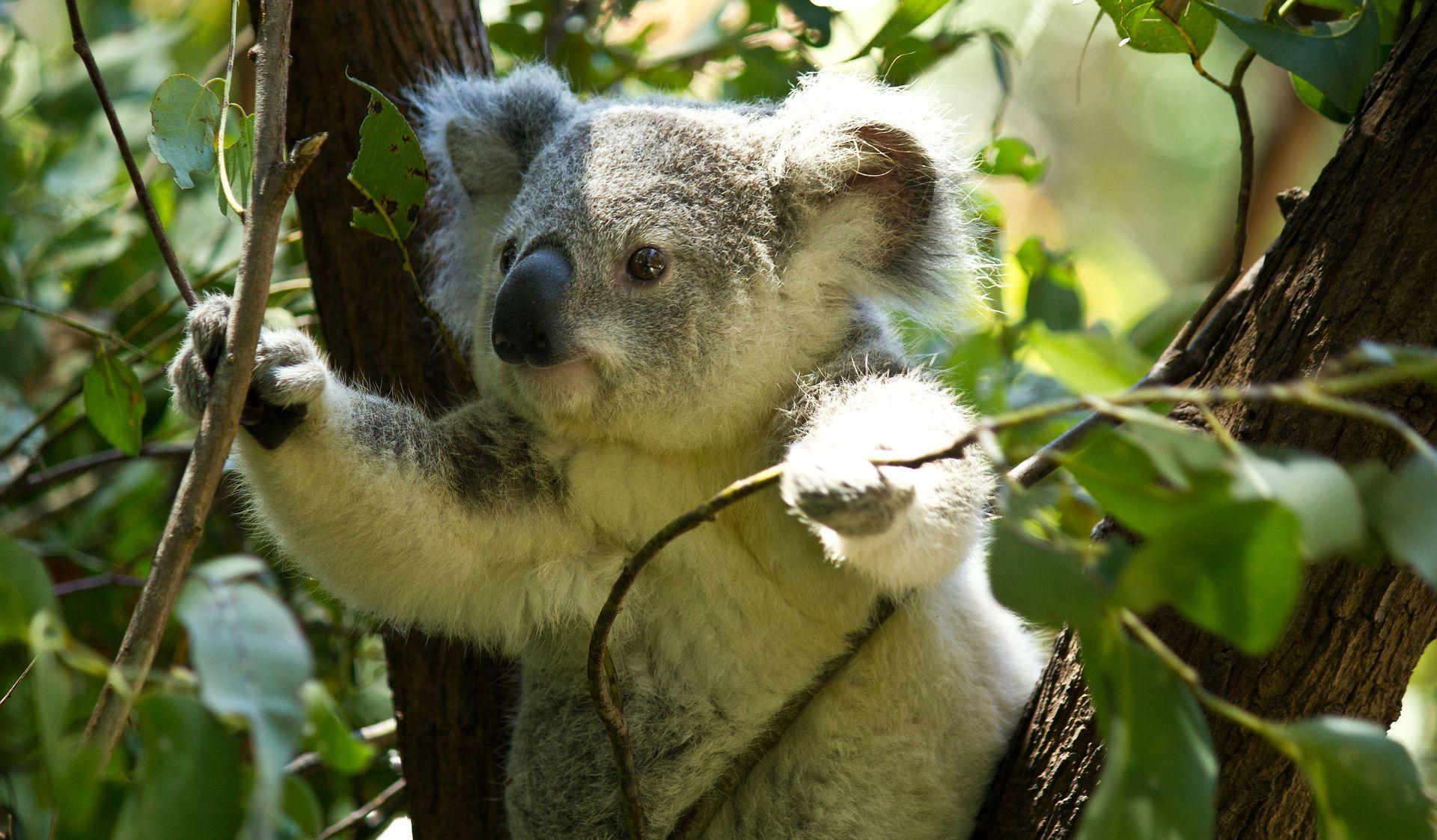 Koale gladuju zbog sječe stabala radi sprečavanja požara