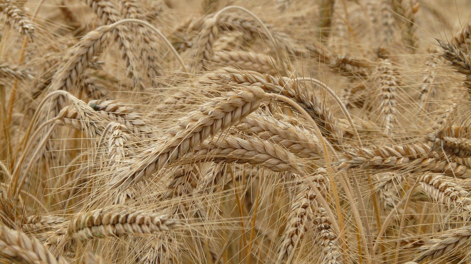 Vruće i suho ljeto okončalo razdoblje obilja raspoložive pšenice