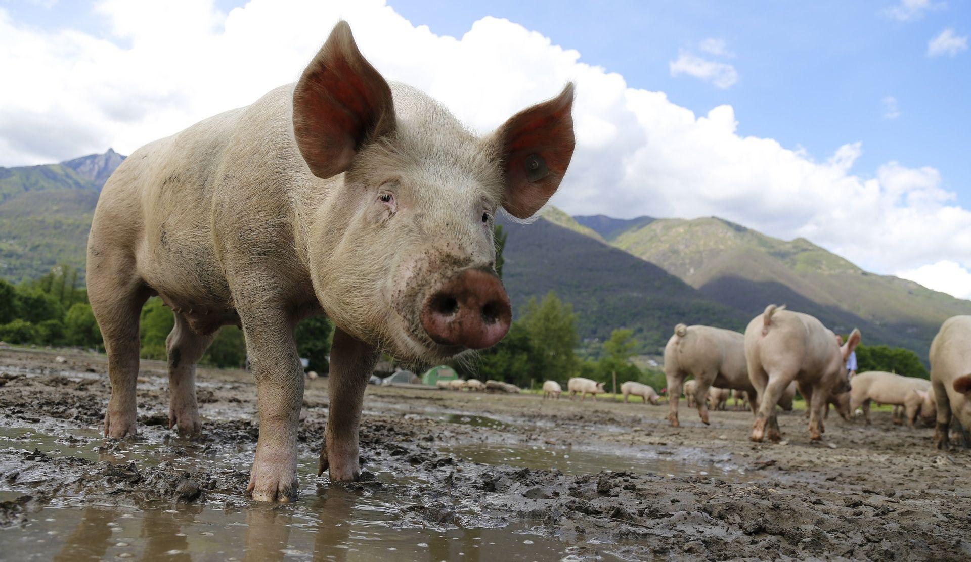 Zapadnoj Europi prijeti svinjska kuga