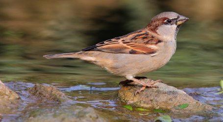 VIDEO: Populacija ptica u Sjevernoj Americi se smanjila