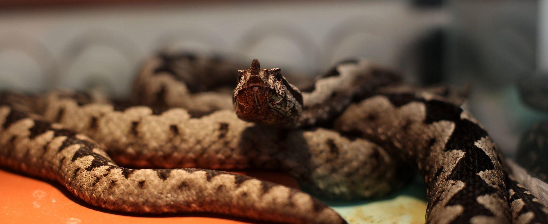 POSKOK BEZ ROGA Nova vrsta zmije na Biokovu