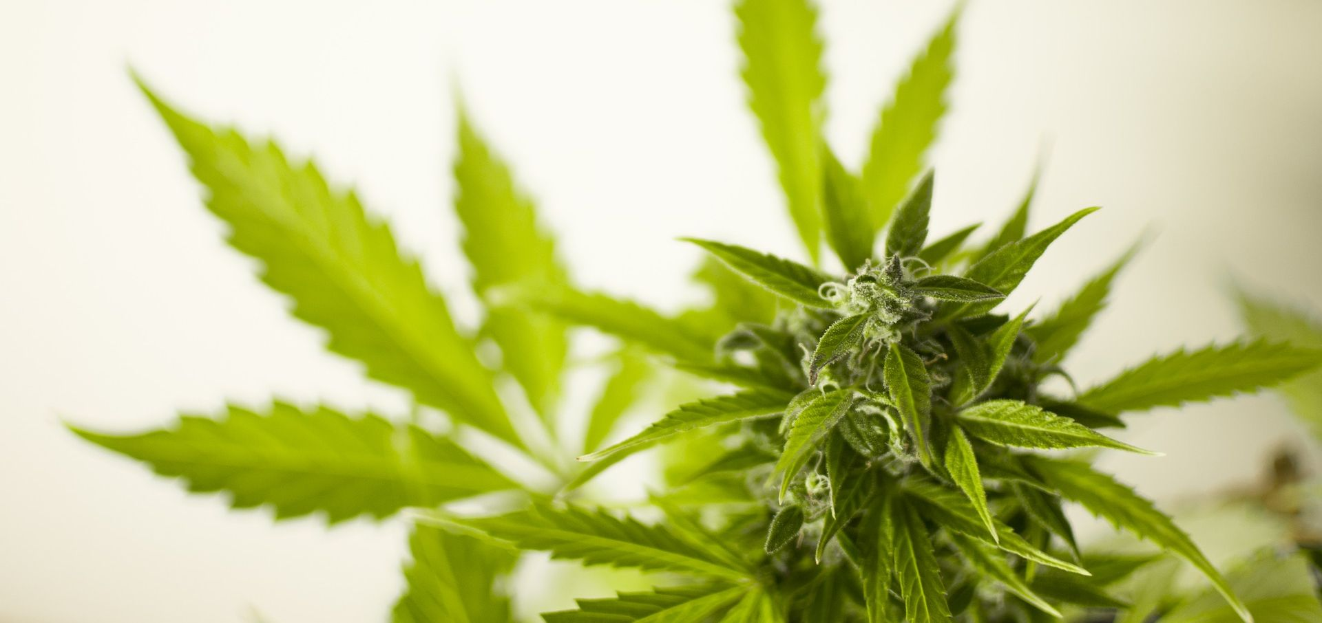 Trogir: Uhićen diler sa 17 kilograma marihuane