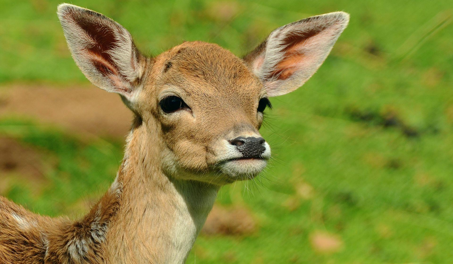 Američki krivolovac mora jednom mjesečno u zatvoru gledati Bambija