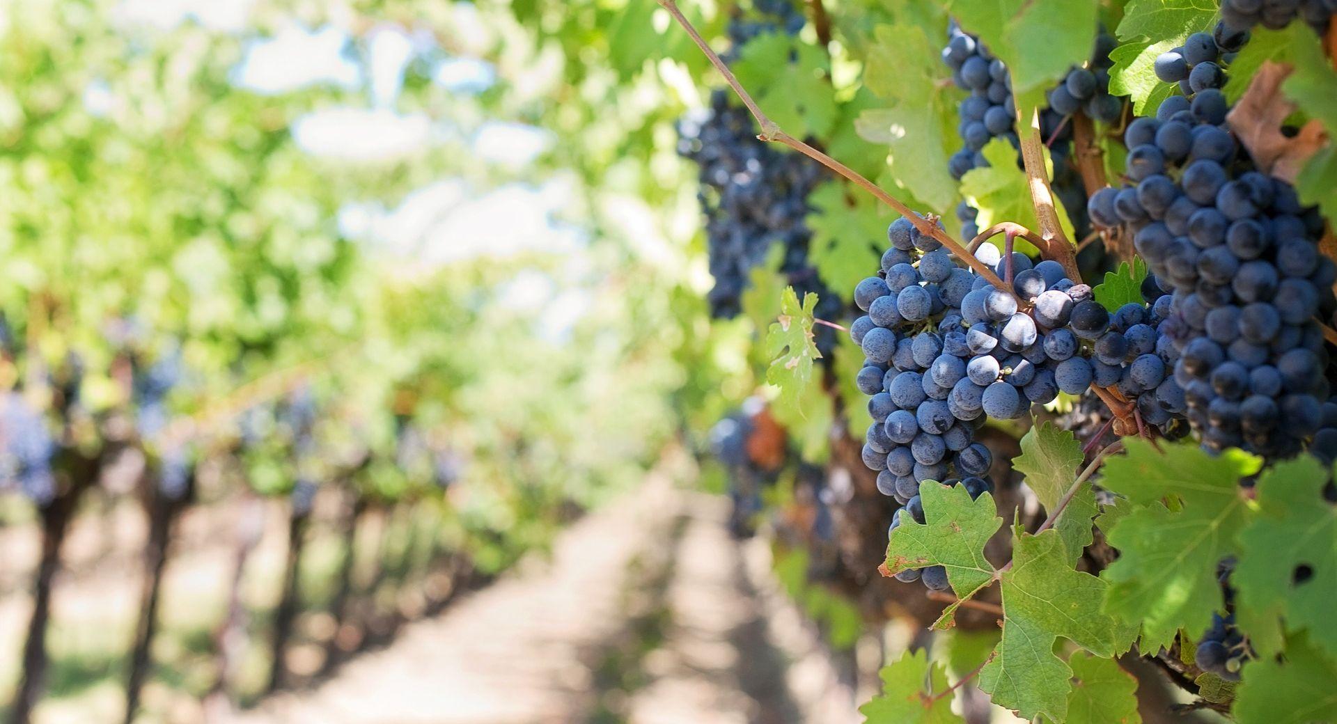 Za iskrčene vinograde nadoknada gubitka dohotka u tri godine