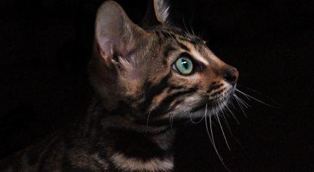 Rijetke pasminske mačke na izložbama za vikend u Westgateu