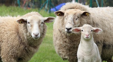 """Omiljenu bečku rekreacijsku zonu će """"kositi"""" ovce"""