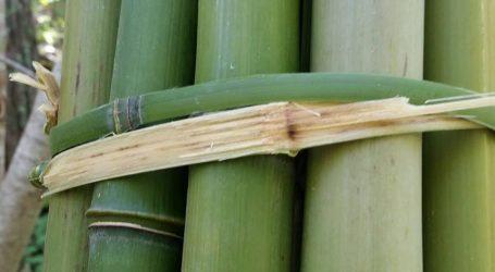 VIDEO: Masaža toplim štapom bambusa