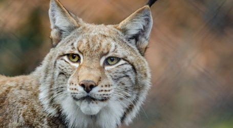 WWF: U Europu se vraćaju velike zvijeri