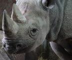 OSLOBAĐANJE: Europski ZOO-i doveli pet nosoroga u Ruandu