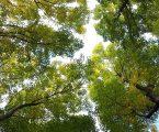 Proždrljivi kukac uništava grčke šume