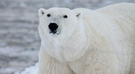 Gladna polarna medvjedica zalutala u grad zbog smanjenja staništa