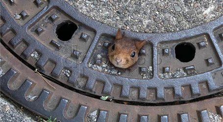 Njemački vatrogasci spasili vjevericu koja je zapela u poklopcu šahta