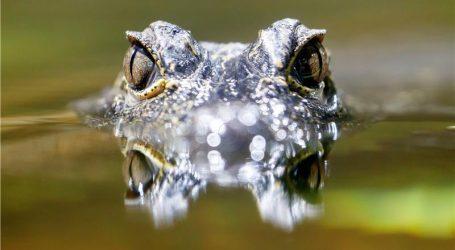 FLORIDA Uljez koji je ušao kroz prozor bio je krokodil