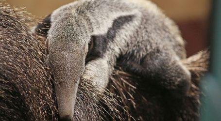 ZAGREBAČKI ZOO: Na svijet došlo mladunče divovskog mravojeda