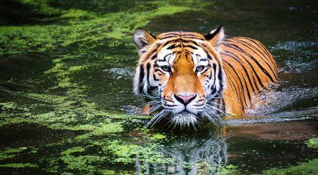 Broj tigrova u Indiji u 4 godine porastao za više 30 posto