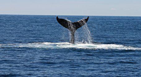 Japanci nakon 30 godina ponovno smiju u lov na kitove
