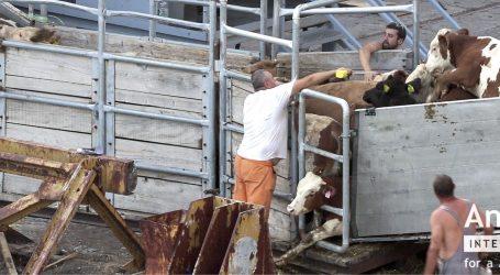 VIDEO: Zbog zlostavljanja životinja u Raši Europska komisija razmatra sankcije Hrvatskoj