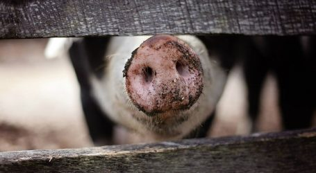 U Hrvatskoj na snazi preventivne mjere zbog afričke svinjske kuge