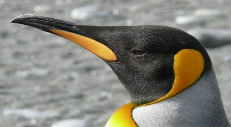 Na Novom Zelandu otkriven fosil prapovijesnog pingvina veličine čovjeka