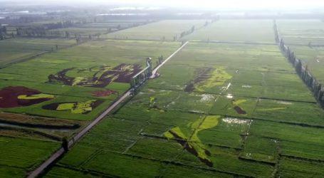 VIDEO: Umjetnost u rižinim poljima